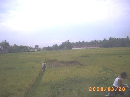 Petani sedang memanen padinya