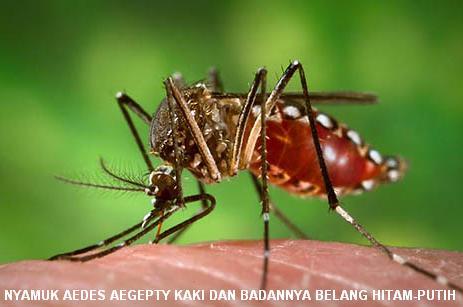Cara Mencegah dan Menyembuhkan Penyakit Demam Berdarah Dengue (1/4)