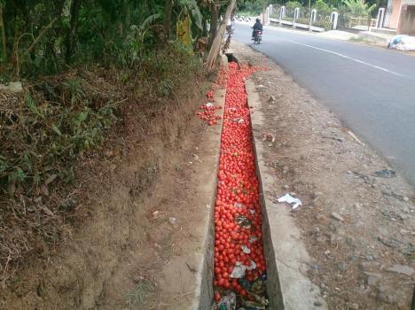 Tomat dibuang petani di jalan Cikajang Garut karena harga terlalu murah